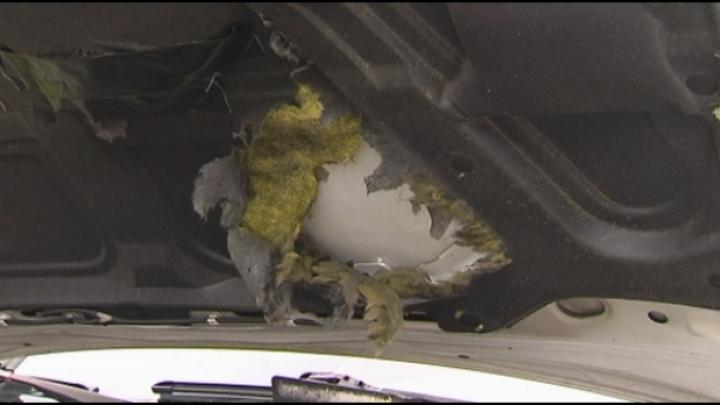 Steenmarters richten dit jaar vaker schade aan in auto's