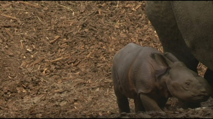 Publiek verzot op neushoornbaby in Planckendael
