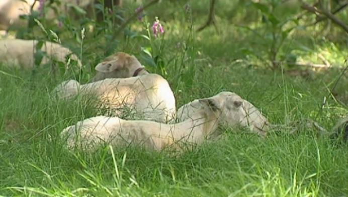 250 schapen geschoren op de Kesselse Heide