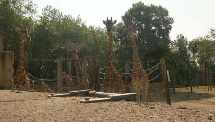 IJsjes voor de giraffen in Planckendael