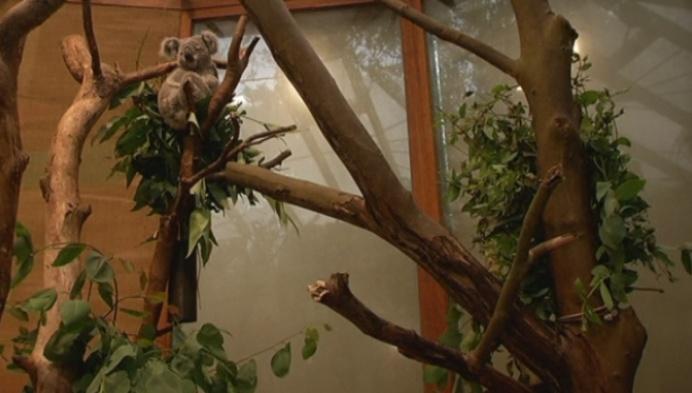 Waar komt eucalyptus voor koala in Planckendael vandaan?