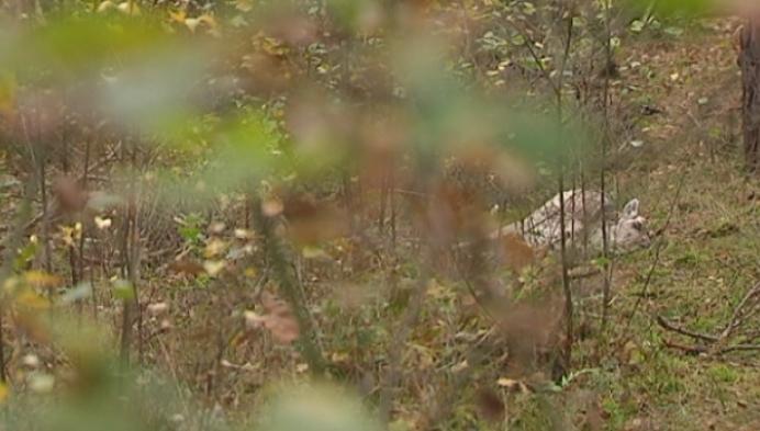 Illegale stropers jagen op wild in Belse Bossen