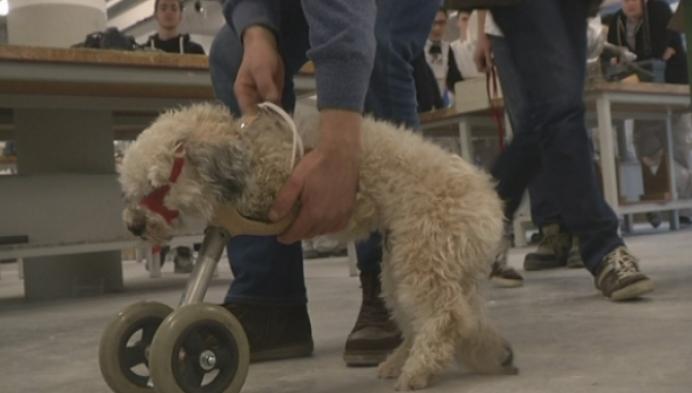 Hondje kan weer lopen dankzij Geelse prothese