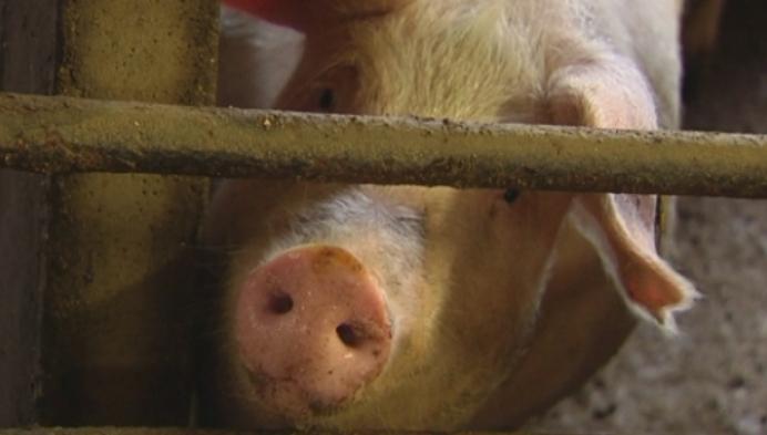 Toekomst varkenshouderij in de Kempen onzeker