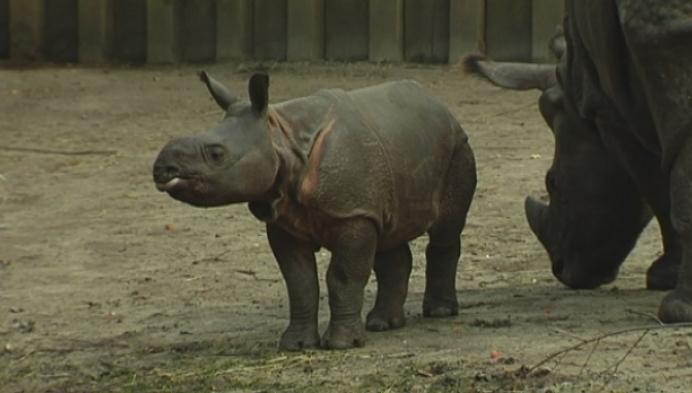 Babyneushoorn Qabid zet eerste stapjes buiten in Planckendael