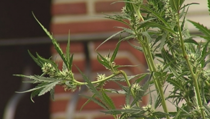 Cannabisplantage ontmanteld in Herentals