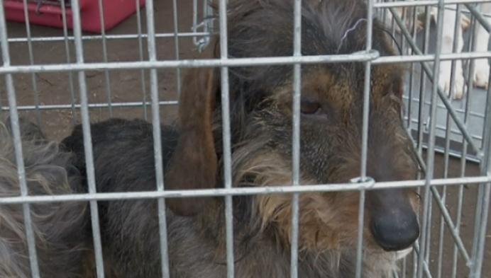 400 honden weggehaald uit Kastelse kwekerij