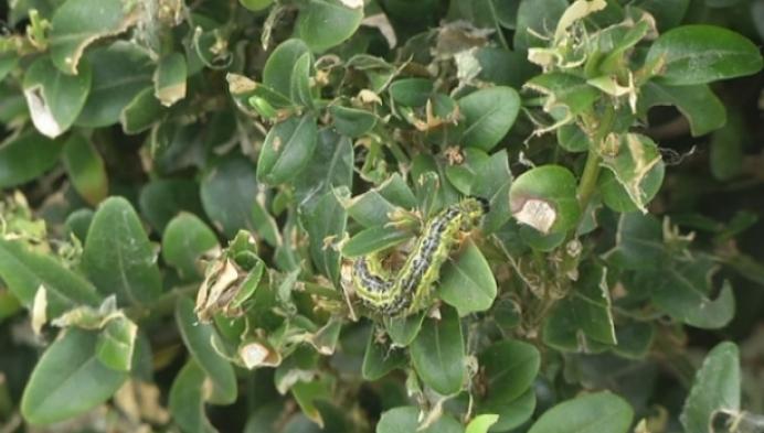 Rupsenplaag vernielt buxusplanten in Koningshooikt