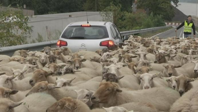 250 schapen maken tocht naar Grobbendonk