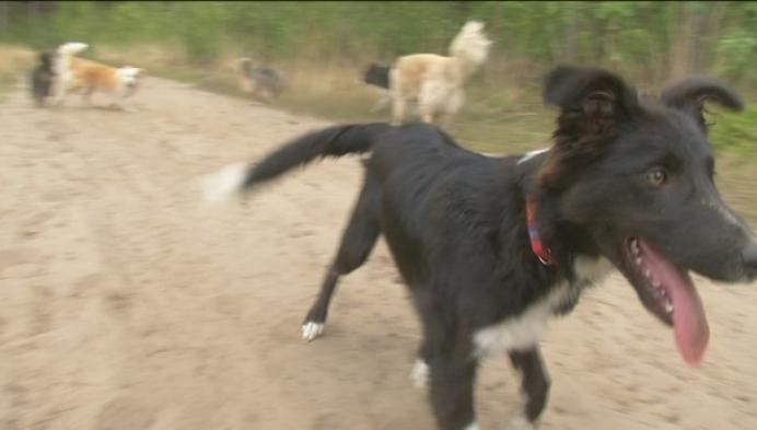 Hondjes willen los lopen op de heide