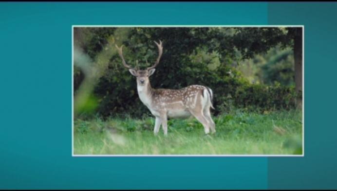 Opgepast voor wilde damherten in Duffel