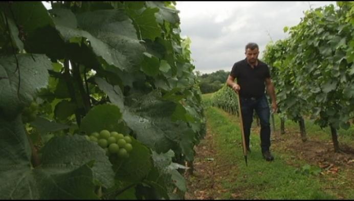Druivenoogst voor Herseltse wijn valt tegen