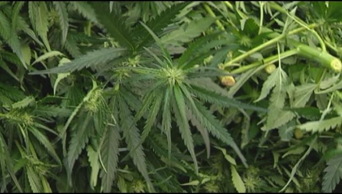Gerecht rolt cannabisplantages op in Hoogstraten