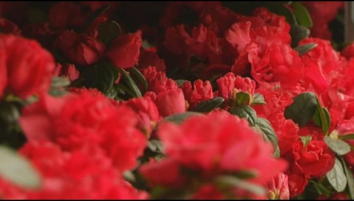 Plantrent geeft 2000 azalea's weg