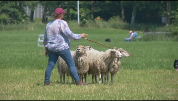 Duffel gastgemeente voor... BK schapendrijven