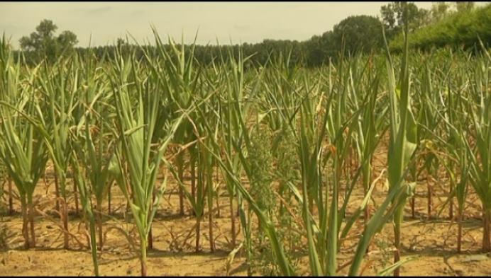 Maïs lijdt onder zomerweer
