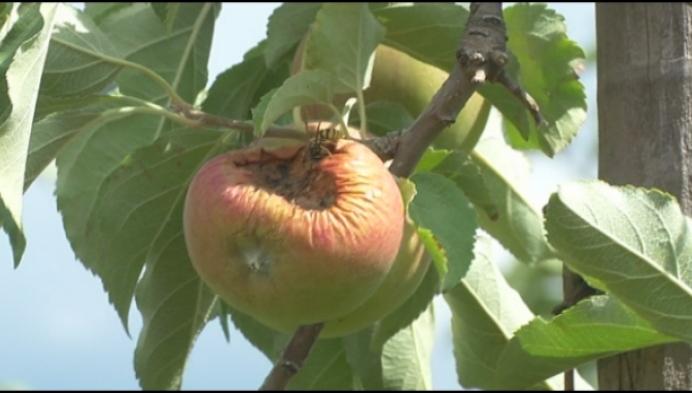 Appelboer zet kannonen in tegen agressieve vogels