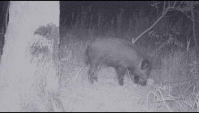 Everzwijnen nu ook gespot in natuurdomein De Liereman