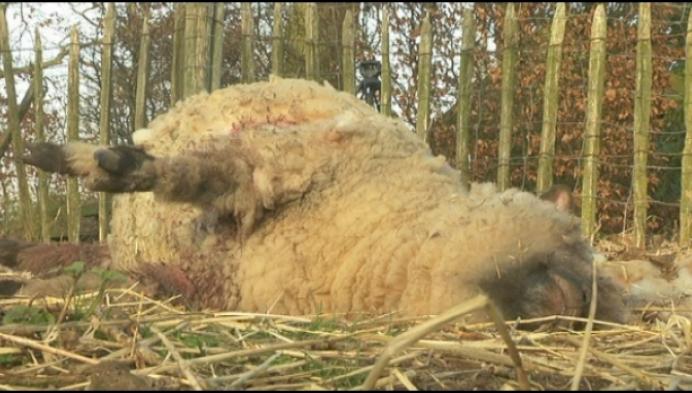 3 schapen dood, wolf in Weelde?