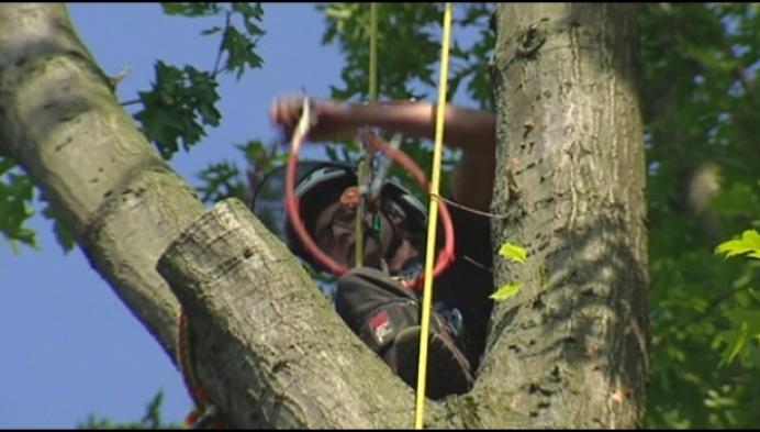 Precisiewerk in Westerlo: bomen van 35 meter gedemonteerd