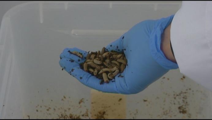 Geels onderzoeksteam: kunnen larven plastic proper eten?