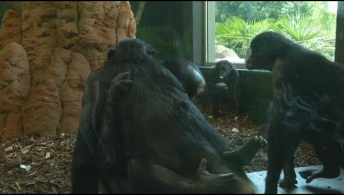 Bonobo-verblijf is nieuwste trekpleister voor Planckendael
