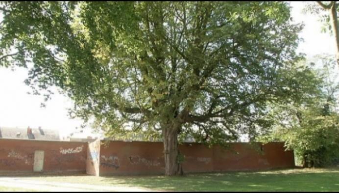 Monumentale boom in dorpshart Puurs-Sint-Amands verdwijnt