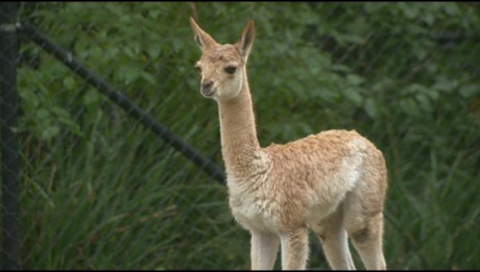 Kleine vicuña geboren in Planckendael