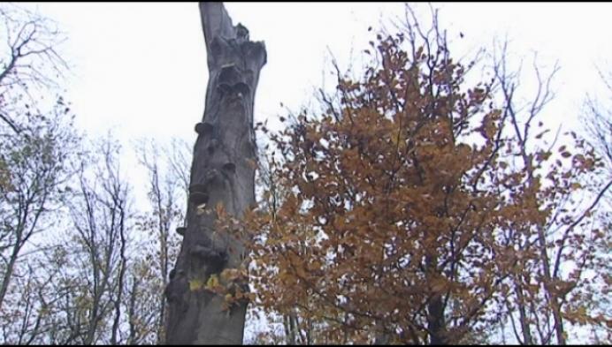 Nieuwe rode beuk voor oudste boom domein d'Ursel