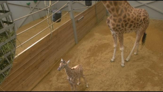 Babygiraf pakt bezoekers van Planckendael in