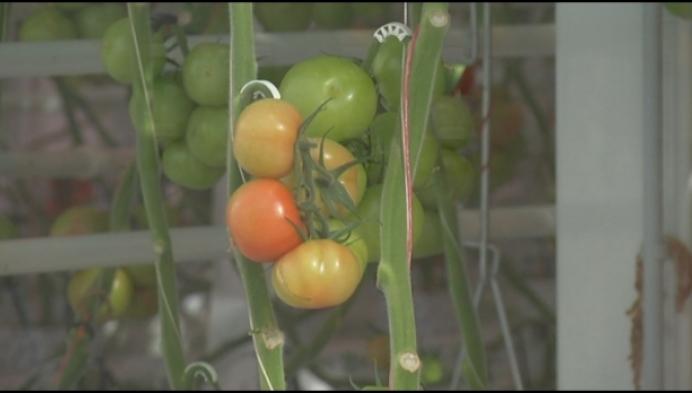Proefstation voor Groenteteelt waarschuwt voor tomatenvirus