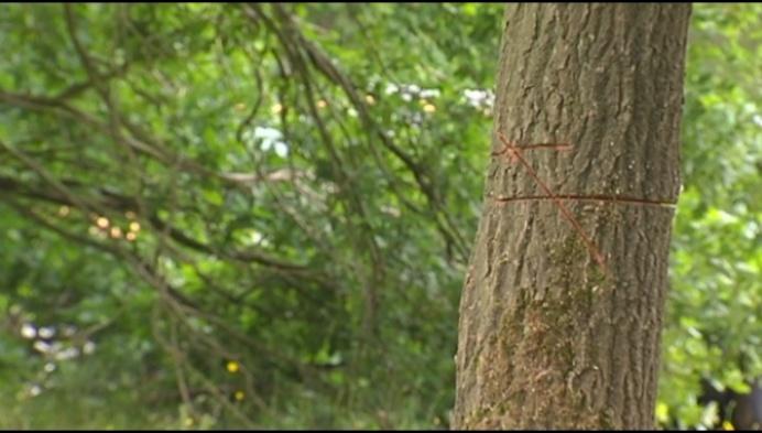 113 bomen verminkt in De Liereman
