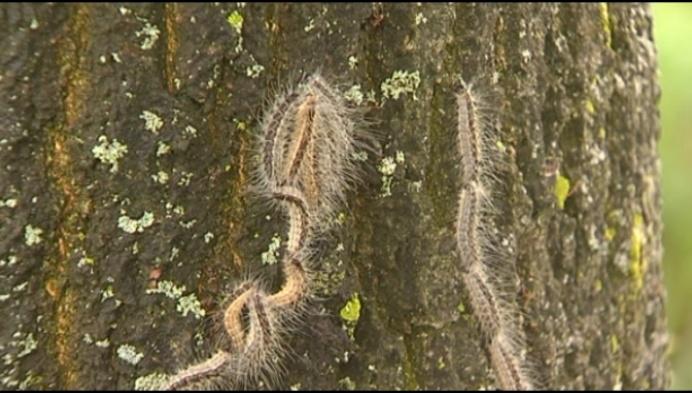 Mezen, wespen en kevers tegen processierupsen
