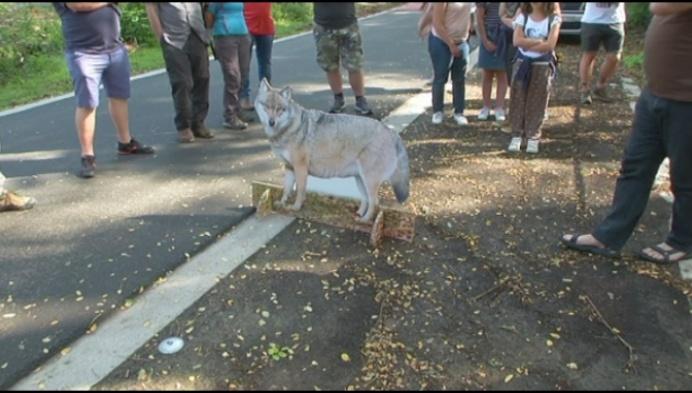 Op zoek naar (sporen van) de wolf in bossen van Kasterlee