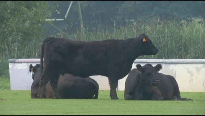 """Koeien breken uit in Leest: """"Ze zaten zelfs in het zwembad"""""""