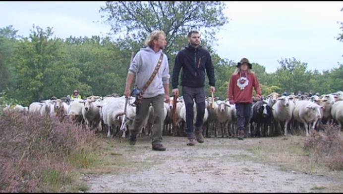 Honderden schapen verhuizen van Kesselse Heide naar Fort