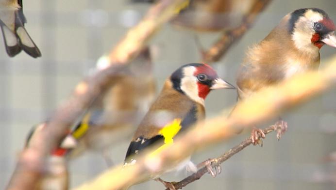 65 inheemse vogels in beslag genomen in Nijlen en Laakdal