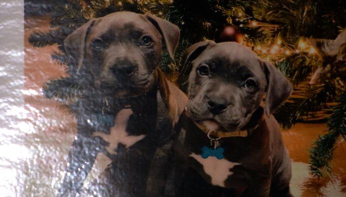 Stafford-pup van jong koppel gestolen in Geel-Bel