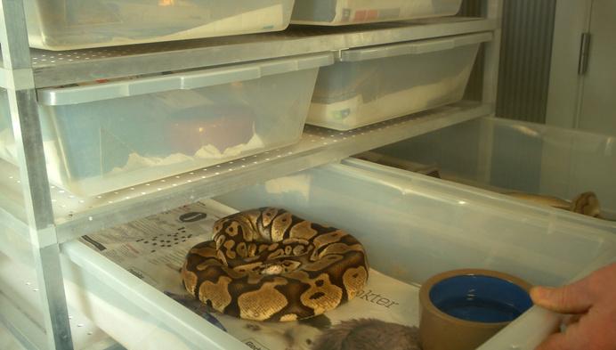 79 koningspythons in beslag genomen in Nijlen