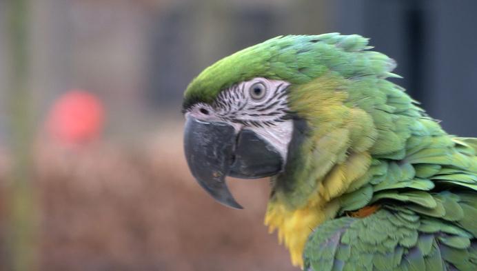 """Rondvliegende papegaaien aan Klein-Boom: """"Maak je geen zorgen"""""""