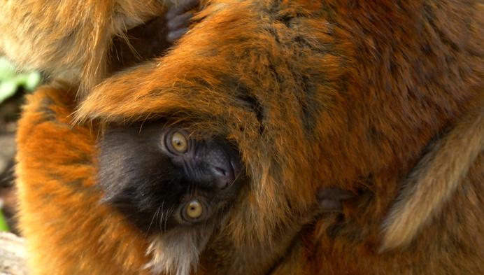Voor het eerst moormaki geboren in dierenpark Planckendael