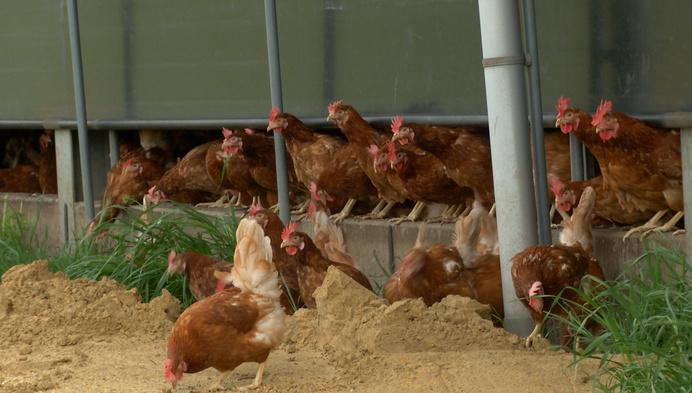 Geelse kippen mogen weer scharrelen na ophokplicht van 6 maanden
